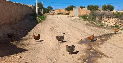 Poules 1